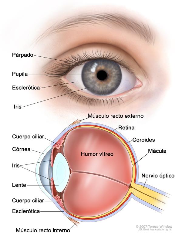 Partes del Ojo - Todo Opticas